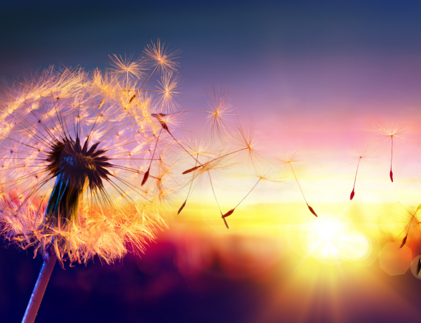 Image of a white, fluffy dandelion blowing away into a multi-colored sunset